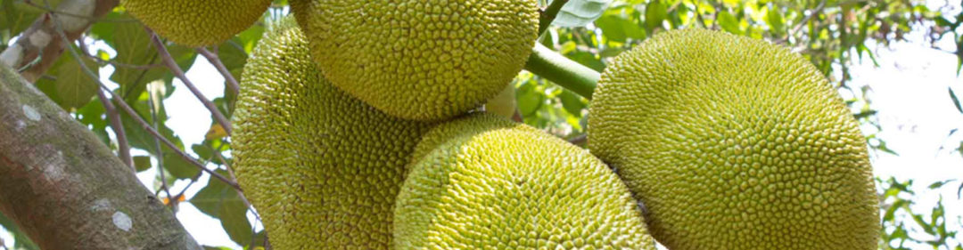 What is Jackfruit?